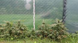 Otthon nevelgette a marihuánát