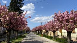 Virágdíszben a Temesvár utca